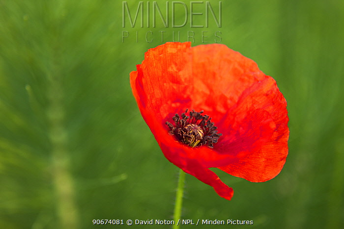 Common poppy (Papaver rhoeas) in flower, Marche, Italy, May  -  David Noton/ npl