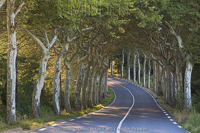 Avenue of Plane trees (Platanus) on a road near Soreze, Tarn, Languedoc, France, September 2012  -  David Noton/ npl