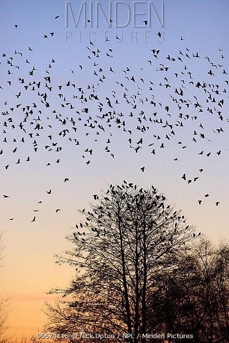 Jackdaws (Corvus monedula) silhouetted as they fly to a roost tree at sunset, Gloucestershire, UK, January  -  Nick Upton/ npl