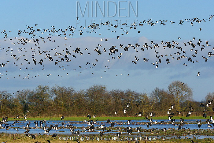 Dense flock of Lapwings (Vanellus vanellus) in flight over mixed flock of Wigeon (Anas penelope) and Northern pintail (Anas acuta) resting on flooded pastureland, Gloucestershire, UK, January  -  Nick Upton/ npl