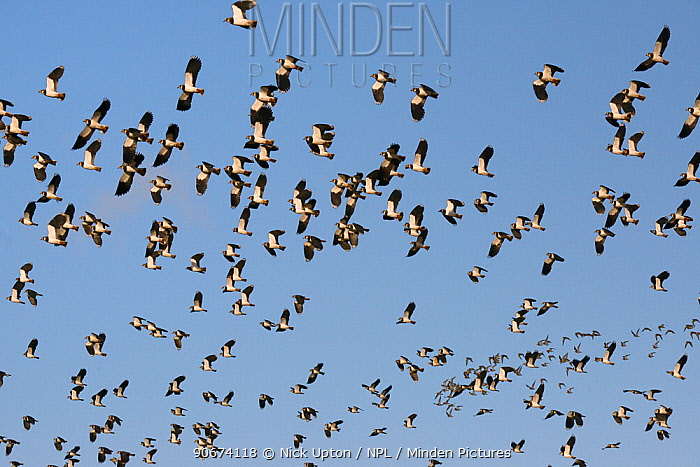 Lapwings (Vanellus vanellus) and Golden plover (Pluvialis apricaria) in flight against a blue sky, Gloucestershire, UK, November  -  Nick Upton/ npl