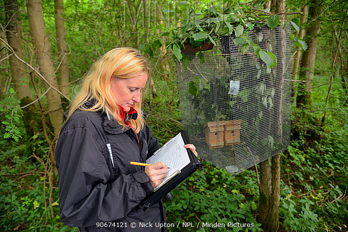 Lorna Griffiths of Nottinghamshire Wildlife Trust recording details of the Hazel dormice (Muscardinus avellanarius) that have been introduced to a soft release cage in nest boxes within an ancient coppiced woodland, Nottinghamshire, UK, June Model released  -  Nick Upton/ npl