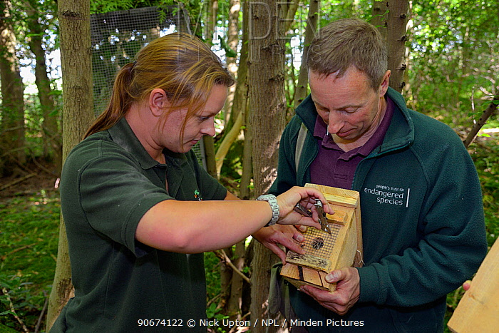 Clare Stalford of the Wildwood Trust removing wire mesh from the entrance hole of a nest box containing a pair of Hazel dormice (Muscardinus avellanarius), held by Ian White, Dormouse officer for the Peoples Trust for Endangered Species, before placing it inside into a soft release cage attached to a tree in coppiced ancient woodland, Nottinghamshire, UK, June Model released  -  Nick Upton/ npl