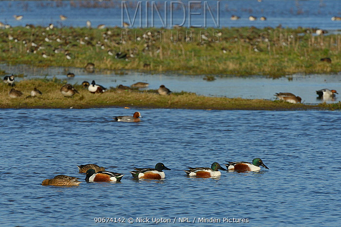 Group of Northern shoveler (Anas clypeata) swimming on flooded pasture land with Wigeon (Anser penelope) and Lapwings (Vanellus vanellus) in the background, Gloucestershire, UK, January  -  Nick Upton/ npl