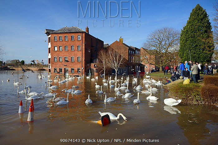People watching Mute swans (Cygnus olor) swimming near flooded Old Cornmill in Worcester after the city centre was inundated by the River Severn bursting its banks, Gloucestershire, February 2014  -  Nick Upton/ npl