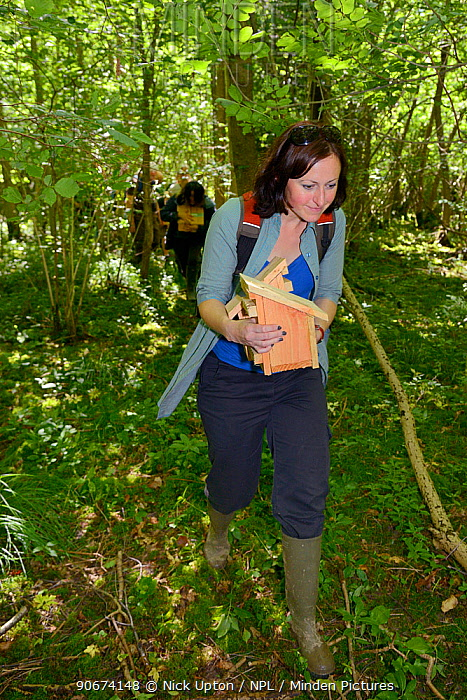 Volunteer carrying a nest box with a pair of Hazel dormice (Muscardinus avellanarius) and an empty box into coppiced ancient woodland to place them both inside a soft release cage attached to a tree, Nottinghamshire, UK, June Model released  -  Nick Upton/ npl