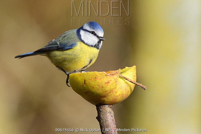 Blue tit (Parus caeruleus) perched on half an apple impaled on a stick, Swindon, Wiltshire, UK, February  -  Nick Upton/ npl