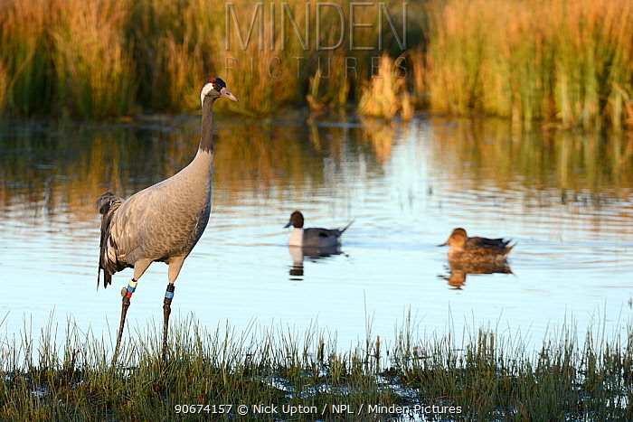 Common, Eurasian crane (Grus grus) Wendy released by the Great Crane Project standing in a marshland pool with three Pintail (Anas acuta) in the background, Gloucestershire, UK, January  -  Nick Upton/ npl