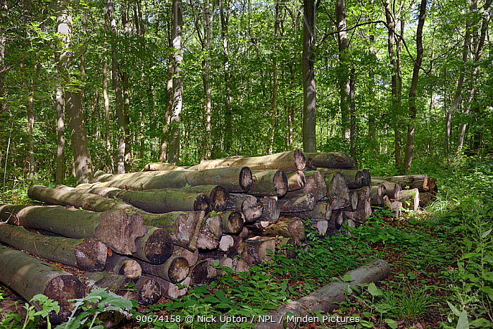Timber in deciduous ancient woodland, managed by coppicing, with a mix of Beech (Fagus sylvatica), Silver birch (Betula pendula) and Hazel (Corylus avellana), chosen for Dormouse reintroduction, Nottinghamshire, UK, June  -  Nick Upton/ npl