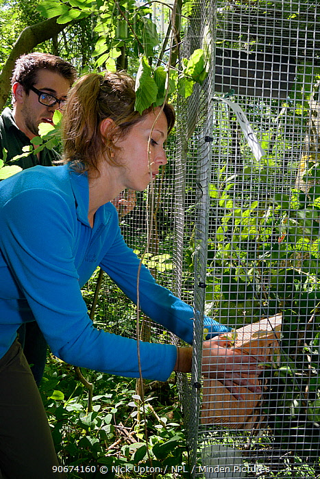 Volunteer Zoe Phillips placing a nest box with a pair of Hazel dormice (Muscardinus avellanarius) and an empty box inside a soft release cage attached to a tree in coppiced ancient woodland, Nottinghamshire, UK, June Model released  -  Nick Upton/ npl