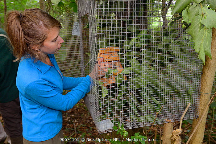 Volunteer Zoe Phillips placing a nest box with a Hazel dormouse (Muscardinus avellanarius) inside into a soft release cage attached to a tree in coppiced ancient woodland, Nottinghamshire, UK, June Model released  -  Nick Upton/ npl