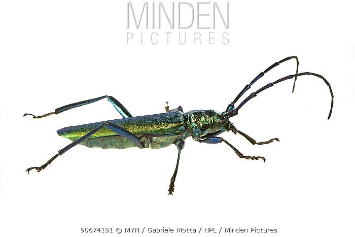Musk beetle (Aromia moschata), Venice, Italy, August meetyourneighboursnet project  -  MYN/ Gabriele Motta/ npl