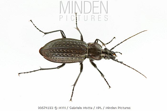 Beetle (Carabus granulatus) Lombradia, Italy, May meetyourneighboursnet project  -  MYN/ Gabriele Motta/ npl