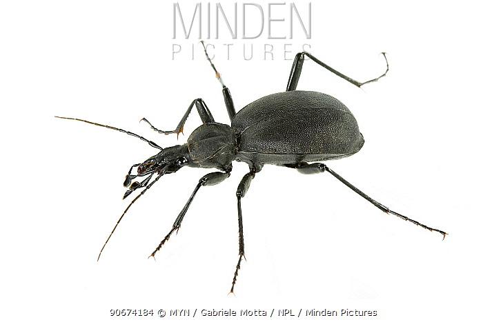 Beetle (Cychrus italicus) Lombradia, Italy, July meetyourneighboursnet project  -  MYN/ Gabriele Motta/ npl
