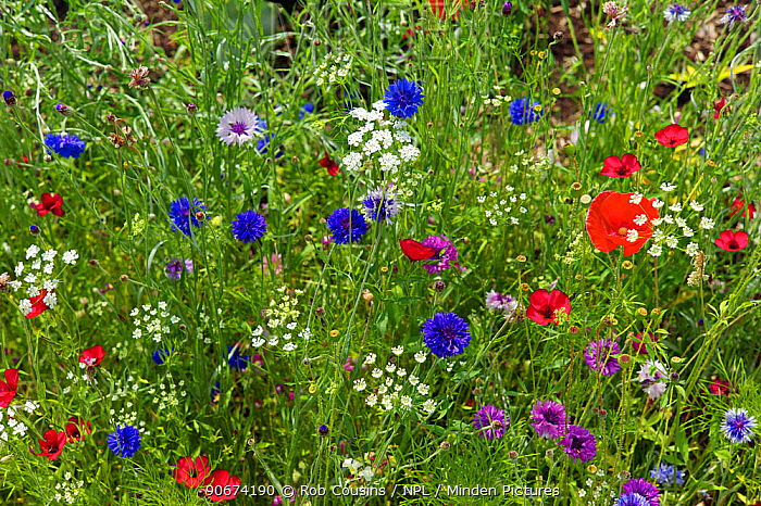 Wildflowers with Cornflowers (Centaurea cyanus), Poppies (Papaver rhoeas) and many other species, UK, July  -  Rob Cousins/ npl