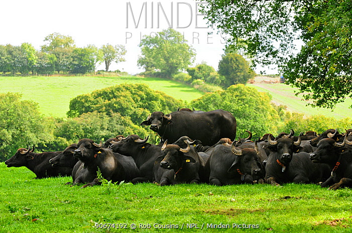 Domestic Water Buffalo (Bubalus bubalis) herd in field, at Laverstoke Park Farm, Hampshire, UK, September  -  Rob Cousins/ npl