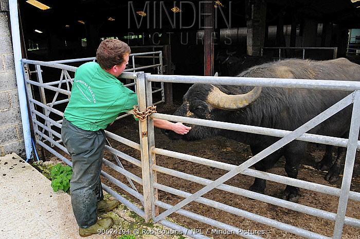 Farmer with Domestic Water buffalo (Bubalus bubalis) at Laverstoke Park Farm, Hampshire, UK, September  -  Rob Cousins/ npl