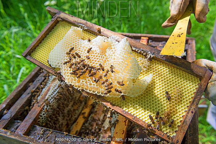 Beekeeper removing unproductive burr comb from Honey bee (Apis mellifera) hive  -  Gary K. Smith/ npl