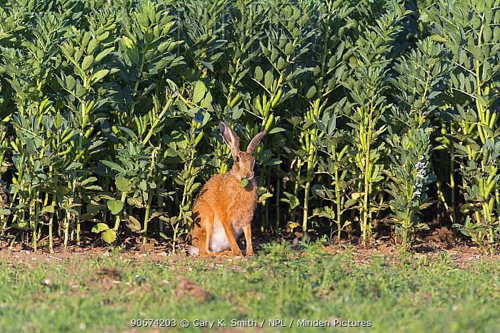 European hare (Lepus europaeus) adult feeding on field crop of broad beans, England, July  -  Gary K. Smith/ npl