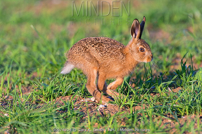 European hare (Lepus europaeus) leveret running, England, June  -  Gary K. Smith/ npl
