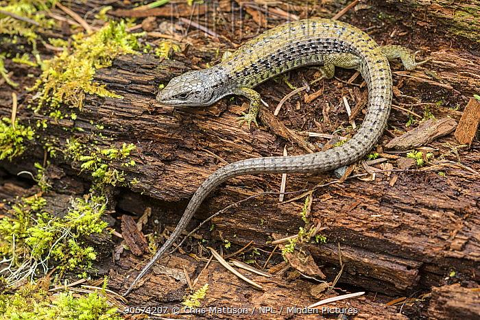 Northern Alligator Lizard (Gerrhonotus coeruleus) Golden Bluffs, California, USA, April  -  Chris Mattison/ npl