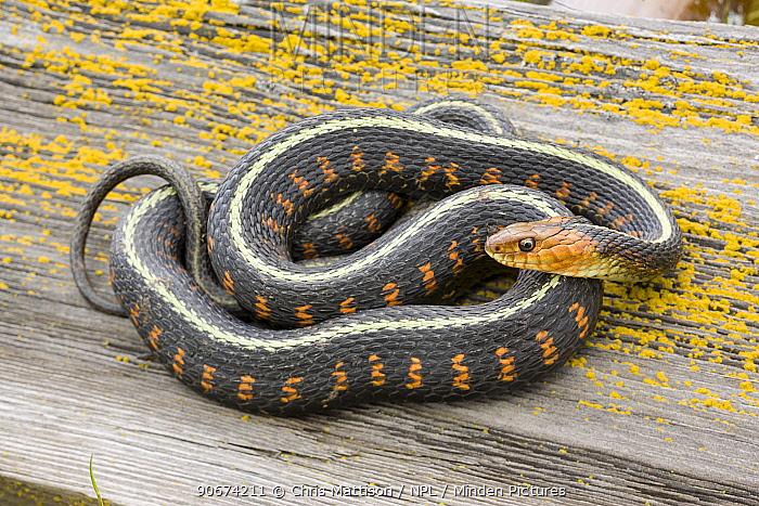 Red spotted garter snake (Thamnophis sirtalis concinnus) coiled, Wilamette Valley, Oregon, USA, April  -  Chris Mattison/ npl