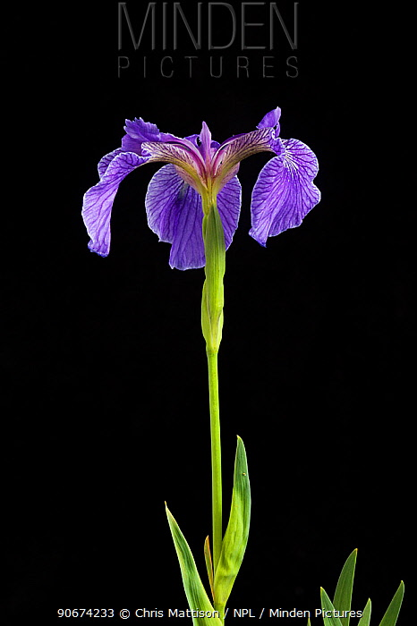 Iris flower (Iris hookeri) endemic to Maine Taken with digital focus stacking  -  Chris Mattison/ npl