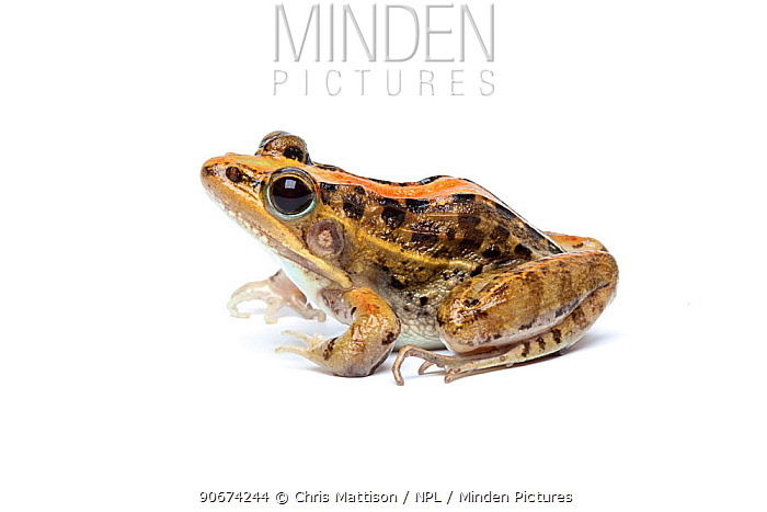 Mascarene Grass Frog (Ptychadena mascareniensis) on white background, Madagascar  -  Chris Mattison/ npl
