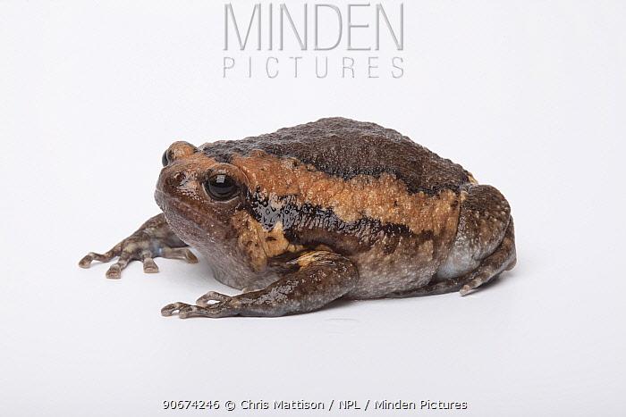 Asian Bullfrog (Kaloula pulchra) on white background, captive occurs in South East Asia  -  Chris Mattison/ npl