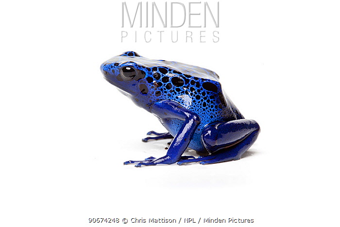 Blue Poison Dart Frog (Dendrobates azureus) on white background, captive occurs in Brazil and Suriname  -  Chris Mattison/ npl