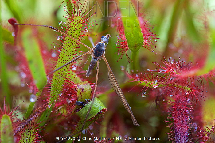 Remains of a cranefly entangled in the sticky leaves of a Cape sundew (Drosera capensis)  -  Chris Mattison/ npl