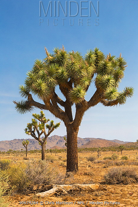 Joshua Tree (Yucca brevifolia) Joshua Tree National Park, California, USA, May  -  Chris Mattison/ npl