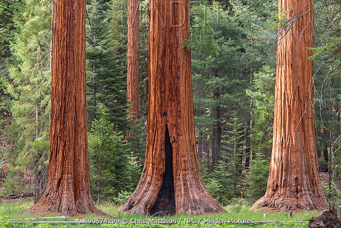 Giant Sequoia (Sequoiadendron giganteum) Sierra Nevada, California, USA, May  -  Chris Mattison/ npl