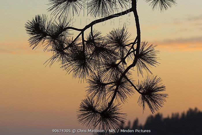 Ponderosa Pine (Pinus ponderosa) branch silhoutted against sunset, Sierra Nevada, California, USA, May  -  Chris Mattison/ npl