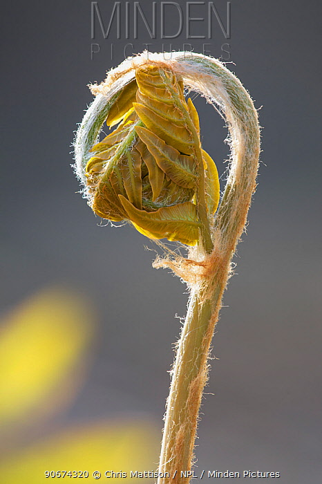 Royal Fern (Osmunda regalis) unfurling frond  -  Chris Mattison/ npl
