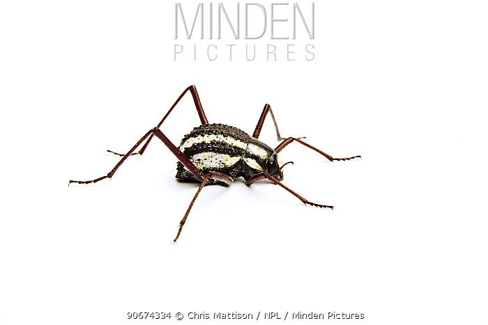 Namib Desert beetle (Stenocara gracilipes) a dew-gathering tenebrionid beetle on white background, Twyfelfontein, Namibia  -  Chris Mattison/ npl
