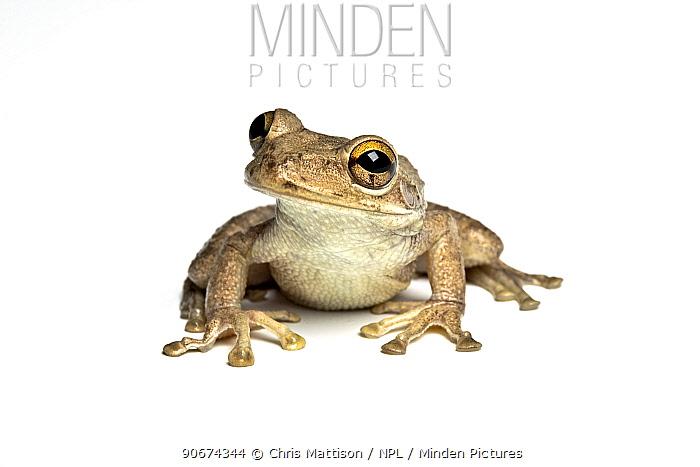 Cuban Tree Frog (Osteopilus septentrionalis) captive from the Caribbean  -  Chris Mattison/ npl