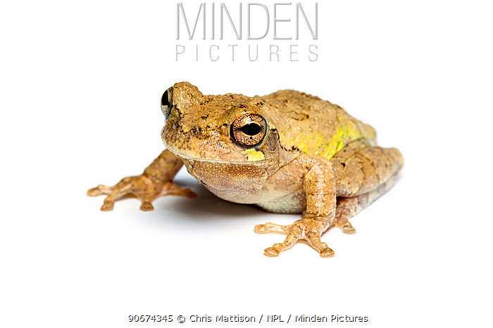 Grey Tree Frog (Hyla versicolor, chrysoscelis) on white background, captive from North America  -  Chris Mattison/ npl