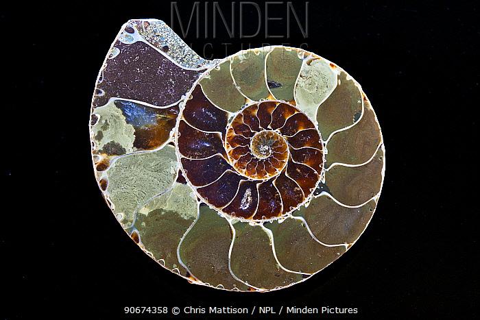 Ammonite, cross section on black background,  -  Chris Mattison/ npl