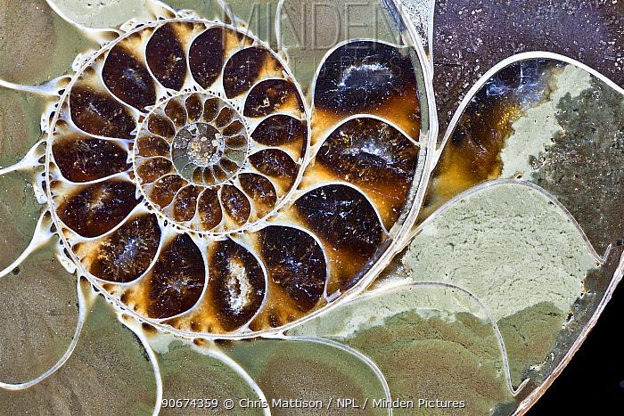 Ammonite, cross section  -  Chris Mattison/ npl