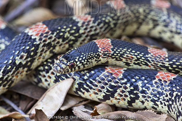 Western Long-nosed Snake (Rhinocheilus lecontei) California, USA, May  -  Chris Mattison/ npl