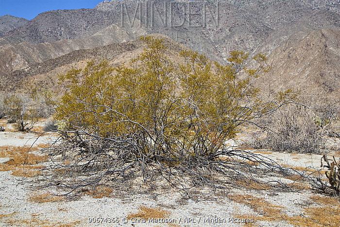 Creostoe bush (Larrea tridentata) Anza-Borrego Desert, California, USA, May  -  Chris Mattison/ npl