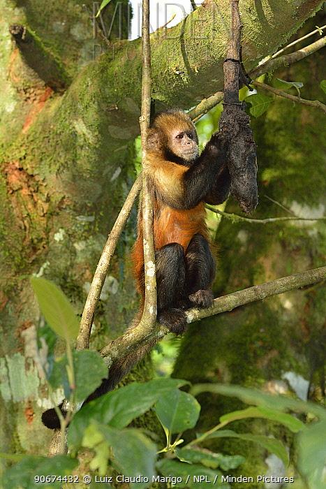 Yellow-breasted Capuchin monkey, or Buff-headed Capuchin monkey (Sapajus xanthosternos) montane Atlantic Rainforest, Serra Bonita Private Natural Heritage Reserve (RPPN Serra Bonita), Camacan, Southern Bahia State, Eastern Brazil  -  Luiz Claudio Marigo/ npl