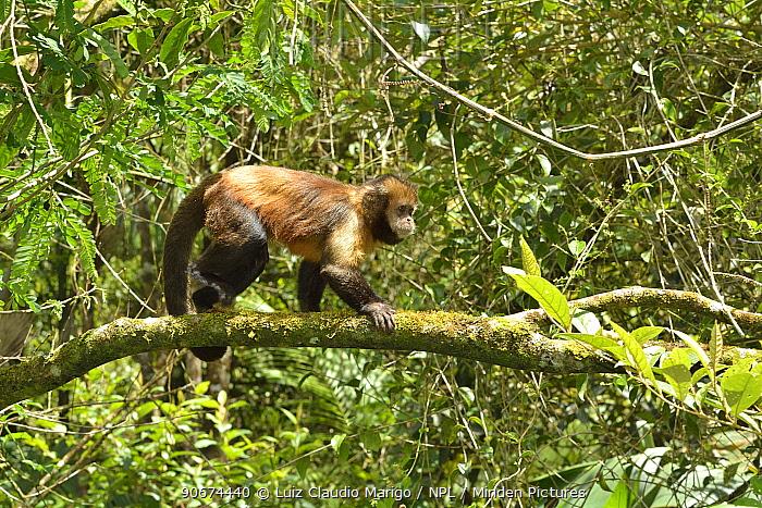 Yellow-breasted Capuchin monkey, or Buff-headed Capuchin monkey (Sapajus xanthosternos) montane Atlantic Rainforest, Serra Bonita Private Natural Heritage Reserve (RPPN Serra Bonita), Camacan, Southern Bahia State, Eastern Brazil Endemic, critically endangered species  -  Luiz Claudio Marigo/ npl
