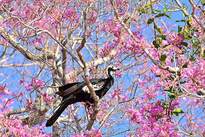 Blue throated piping guan (Pipile pipile) perched in flowering Pink Ipe tree (Tabebuia ipe, Handroanthus impetiginosus) Pantanal, Mato Grosso State, Western Brazil Critically endangered species  -  Luiz Claudio Marigo/ npl