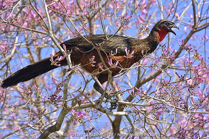 Guan (Penelope sp) in flowering Pink Ipe tree (Tabebuia ipe, Handroanthus impetiginosus) Pantanal, Mato Grosso State, Western Brazil  -  Luiz Claudio Marigo/ npl