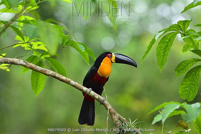 Ariel toucan (Ramphastos ariel) perched on branch, Atlantic Rainforest, Rio de Janeiro city, Rio de Janeiro State, Brazil  -  Luiz Claudio Marigo/ npl