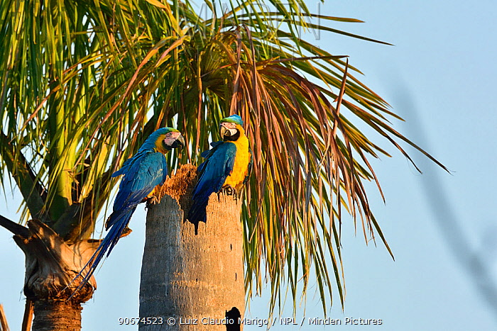 Blue and yellow macaw (Ara ararauna) pair at nest in palm tree, Pantanal, Brazil  -  Luiz Claudio Marigo/ npl