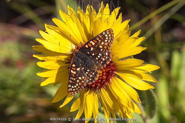 Anicia Checkerspot (Euphydryas anicia) on flower, Glacier National Park, Glacier County, Montana, USA  -  John Abbott/ NPL