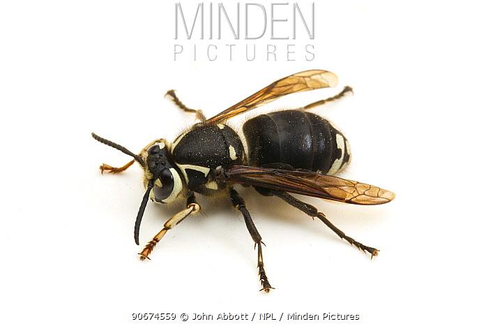Baldfaced Hornet (Dolichovespula maculata) Junipers Reservoir, Lake View, Lake County, Oregon, USA, June  -  John Abbott/ NPL
